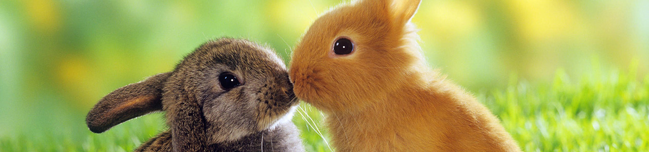 rabbits-kissing